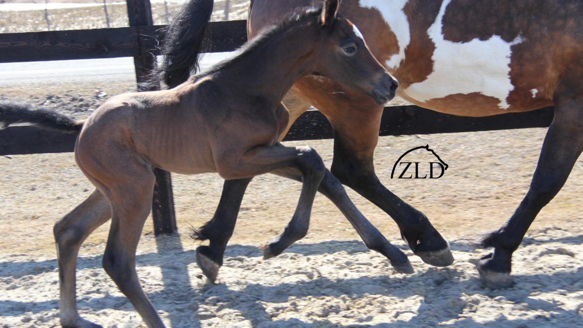 hanoverian jumper filly zirocco blue rio grande