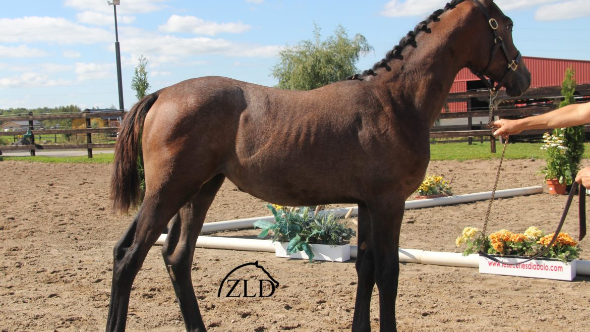 north riocco zld zirocco blue vdl stud jumper kwpn dutch warmblood
